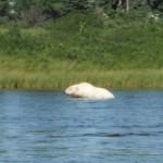 Adam Shoalts Polar Bear