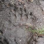 Adam Shoalts Bear Track